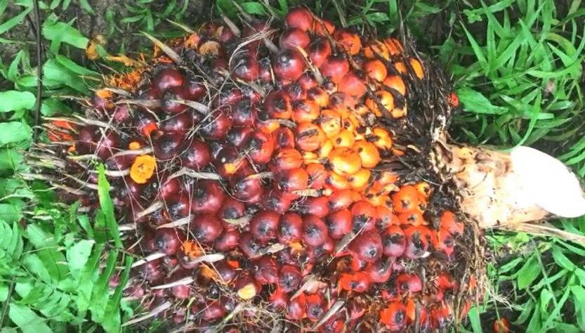 Вред пальмового масла для здоровья