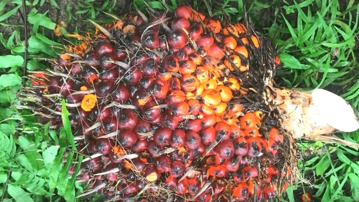 Вред пальмового масла для здоровья: есть или не есть?